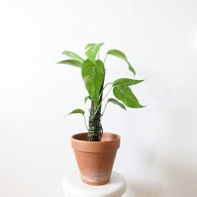 Epipremnum Pinnatum Albo Variegata