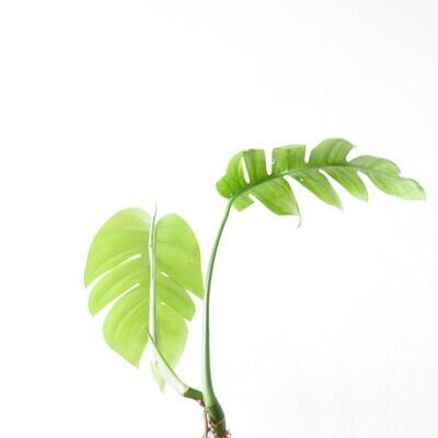 Epipremnum Pinnatum (mature)