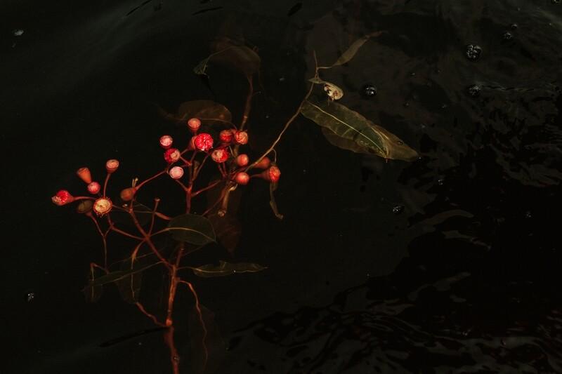 Floating Ficifolia