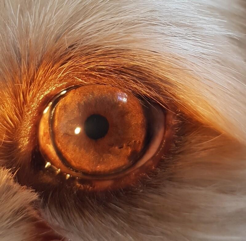 Etude iridologique de votre animal