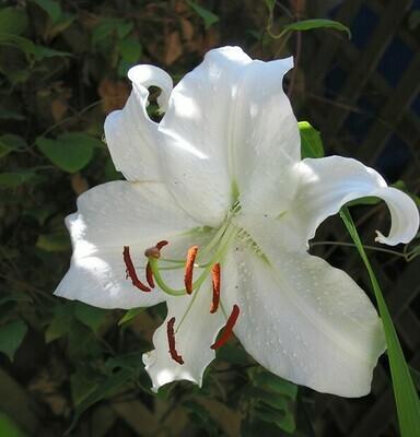 Lily 'Casablanca' | 3 bulbs