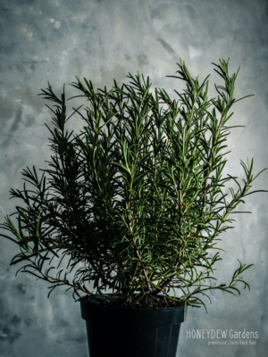 Rosemary 'Barbeque'
