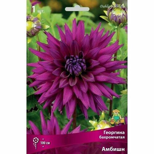 Георгина Амбишн  бахромчатая (пурпурный, диаметр цветка 11см, 1шт, I)