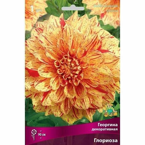 Георгина Глориоза декоративная  (жёлтый с красным штрихом, диаметр цветка 17см, 1шт