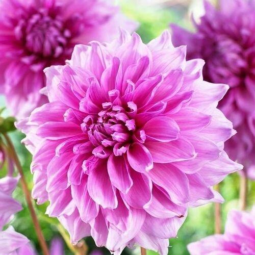 Георгина Лавендер Перфекшн декоративная (розово-лиловый, диаметр цветка 20см, 1шт