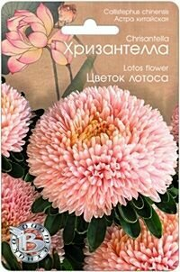 Астра Хризантелла Цветок лотоса (БИО)