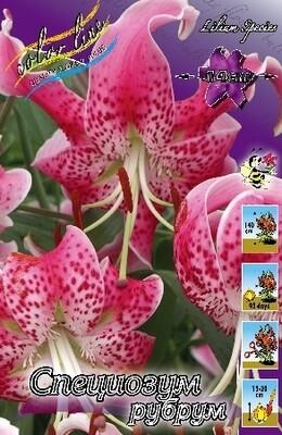 ЛИЛИЯ  'СП. РУБРУМ'  ( Lilium Speciosum Rubrum); [SP]