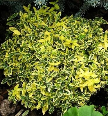Бересклет Форчуна 'Эмеральден Голд' (Euonymus fortunei Emerald 'n Gold)