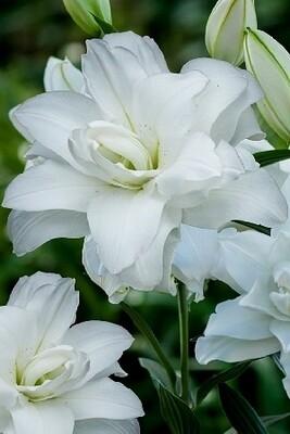 ЛИЛИЯ  'ЛОТУС ПЬЮР 16/18'  ( Lilium Lotus Pure); [ORD] новинка