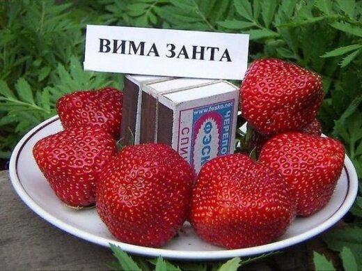"Клубника ""Вима-Занта"" (ранний) 10 штук"
