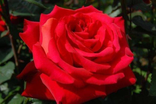 """Роза """"Гранд Амор"""""""