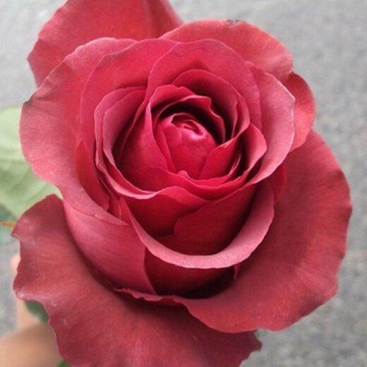 "Роза ""Матильда"""