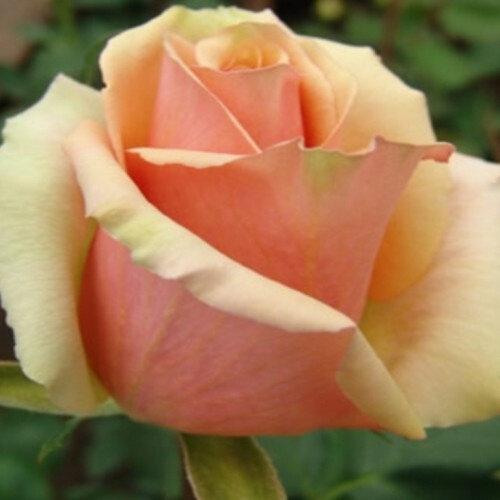 """Роза """"Азафран"""""""