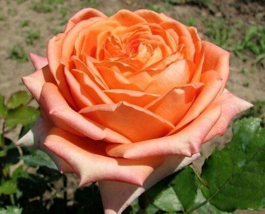 """Роза """"Эльдорадо"""""""
