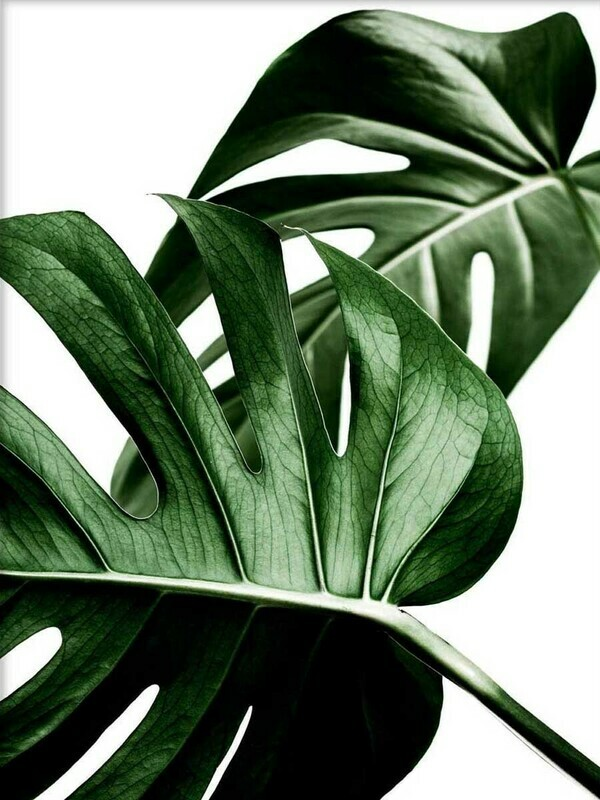 Tropical Bigleaf Minimalist Wallpaper