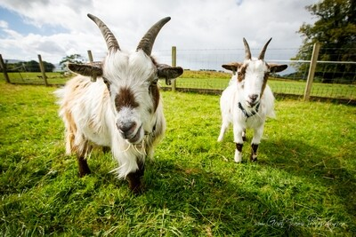 1 Full year's Goat Sponsorship Package!! Less than £1 per week! Including a VIP voucher to meet your sponsored animals!