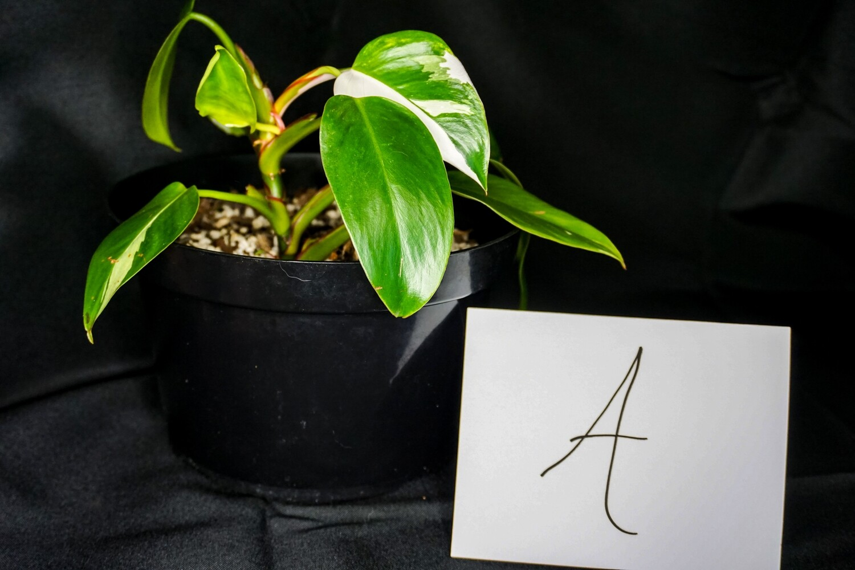 White Princess Philodendron Plant A