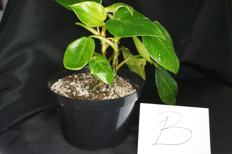 White Princess Philodendron Plant B