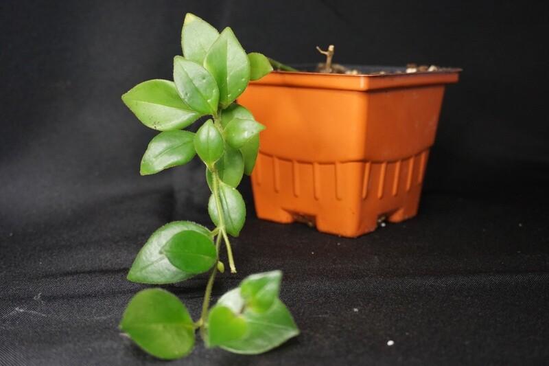 Lipstick Plant - Aeschynanthus spp.