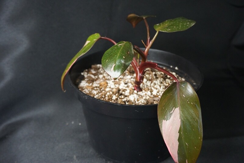 Pink Princess Philodendron A