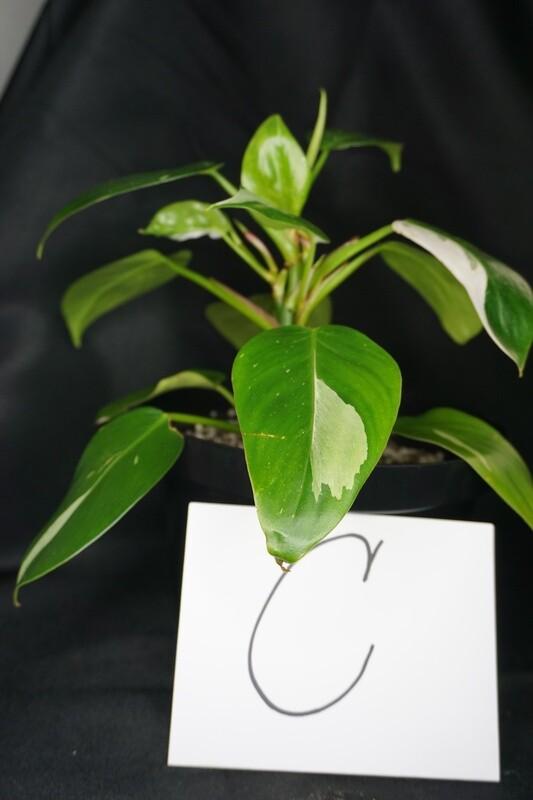 White Princess Philodendron Plant C
