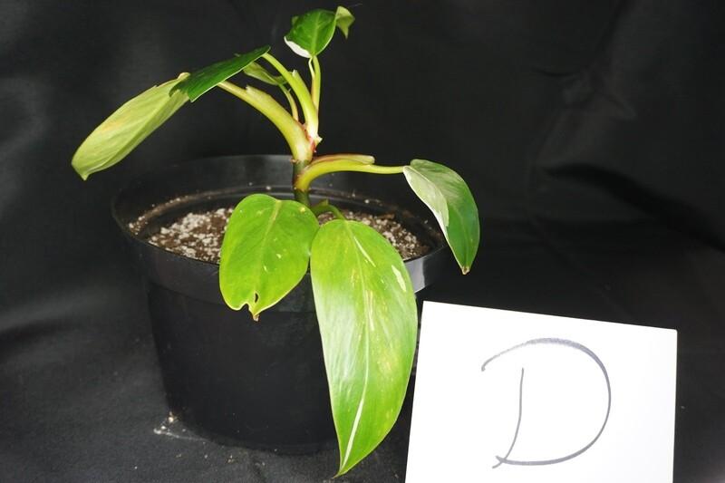 White Princess Philodendron Plant D