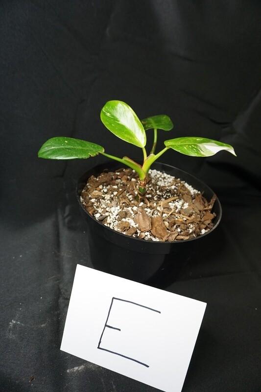 White Princess Philodendron Plant E