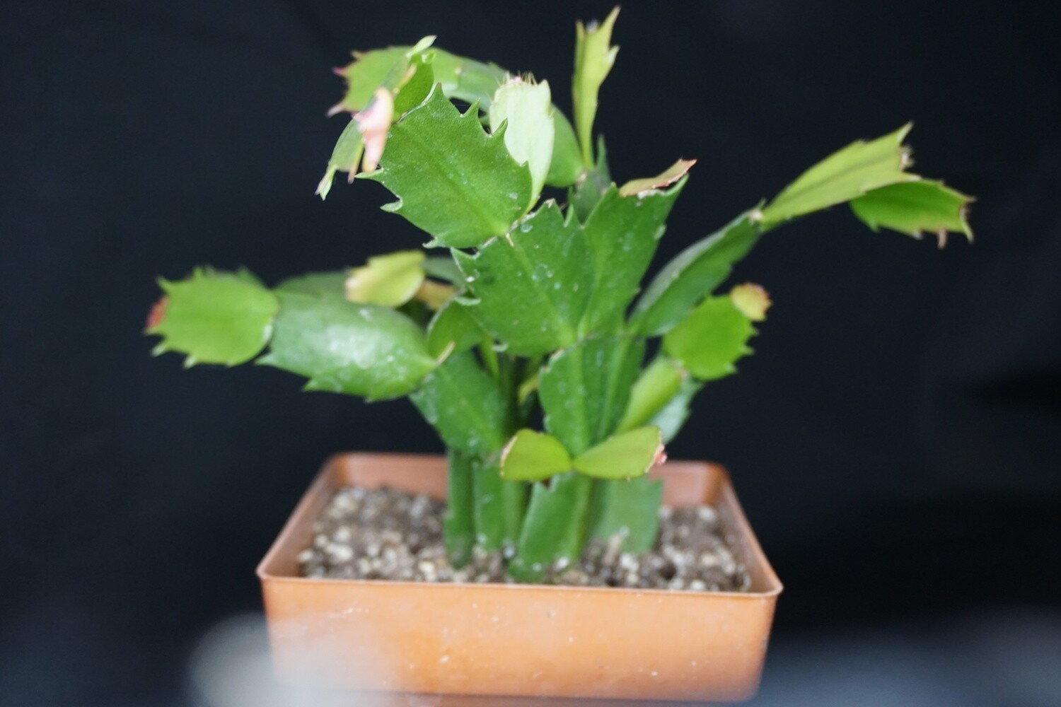 Thanksgiving Cactus-Schlumbergera Truncata
