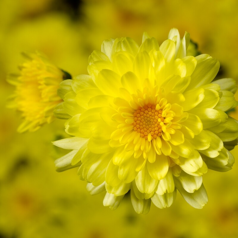 Yoder Mum - Chelsey Yellow