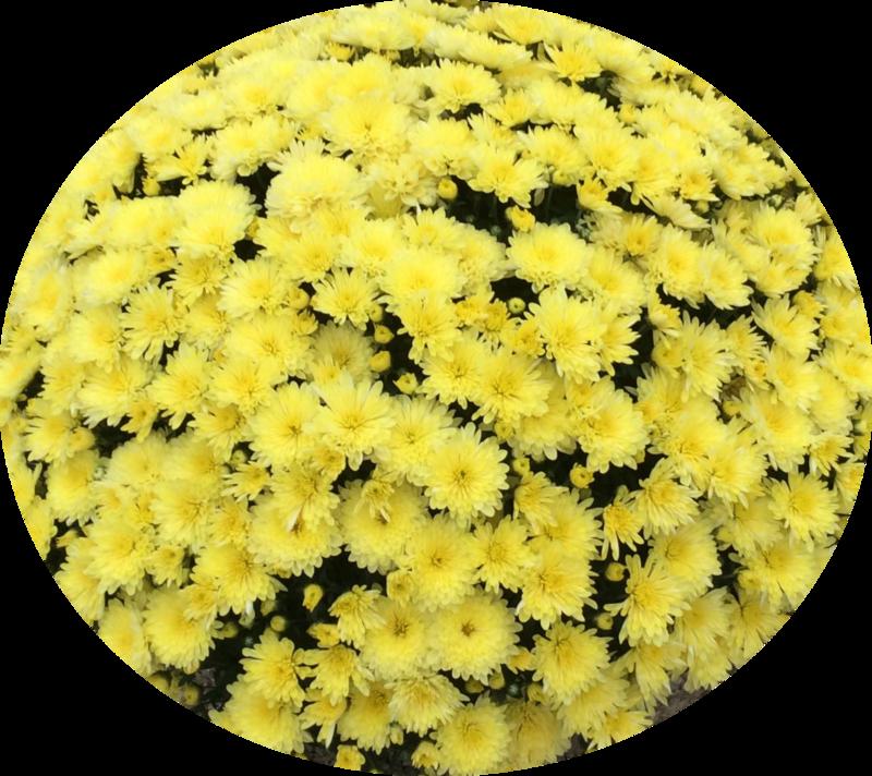 Yoder Mum - Aluga Yellow