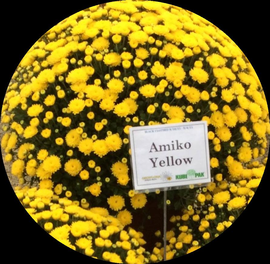Yoder Mum - Amiko Yellow
