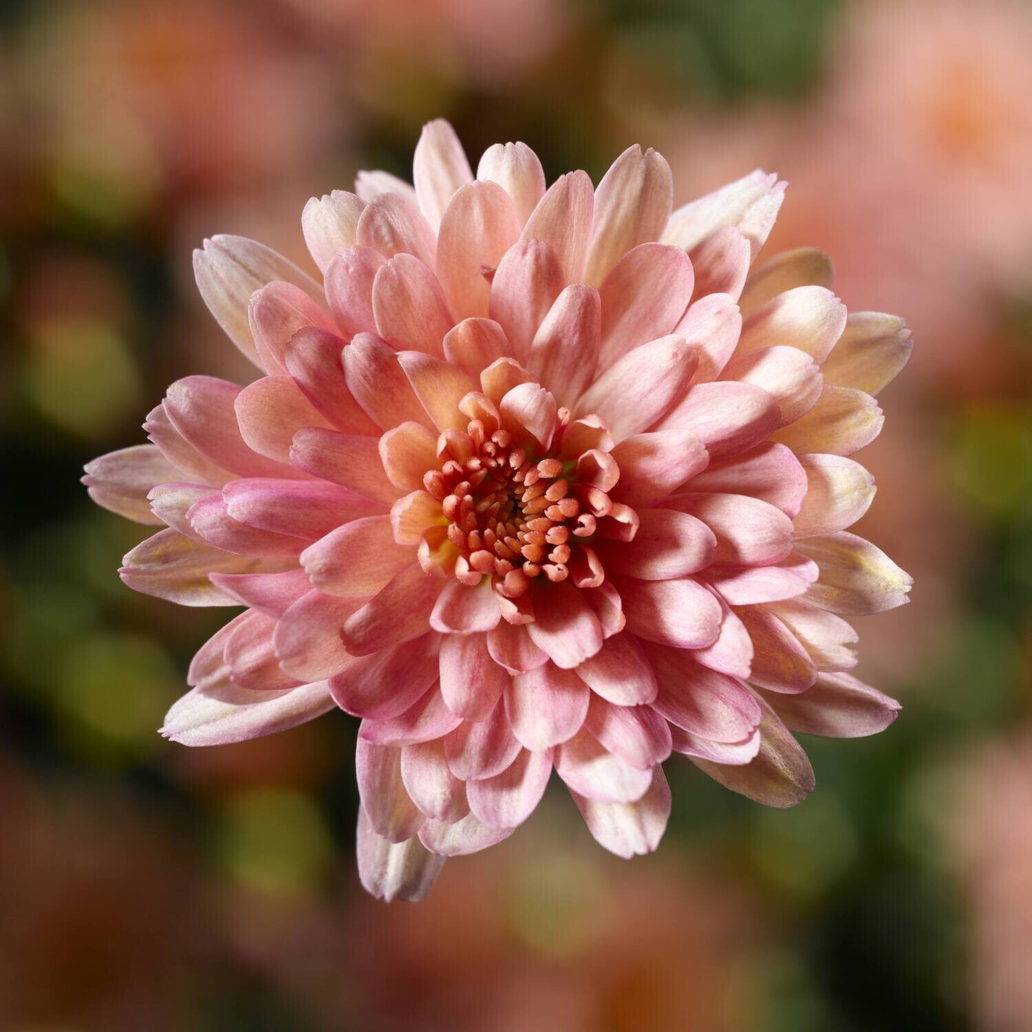 Yoder Mum - Chelsey Coral