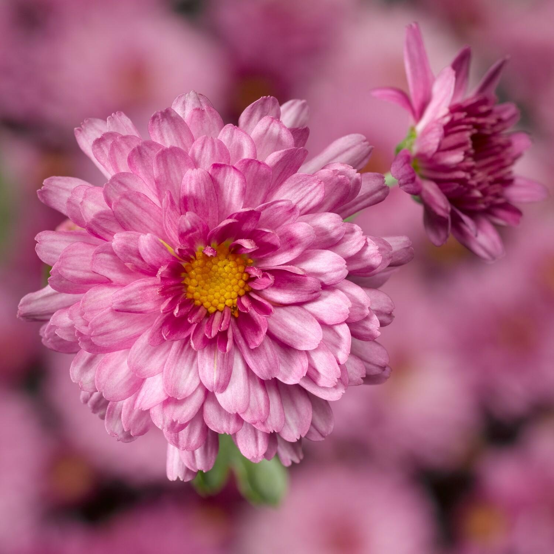 Yoder Mum - Chelsey Pink