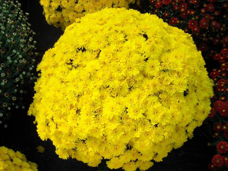 Yoder Mum - Conaco Yellow