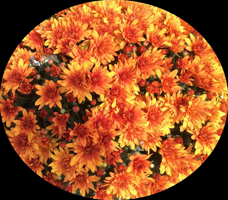 Yoder Mum - Conaco Orange