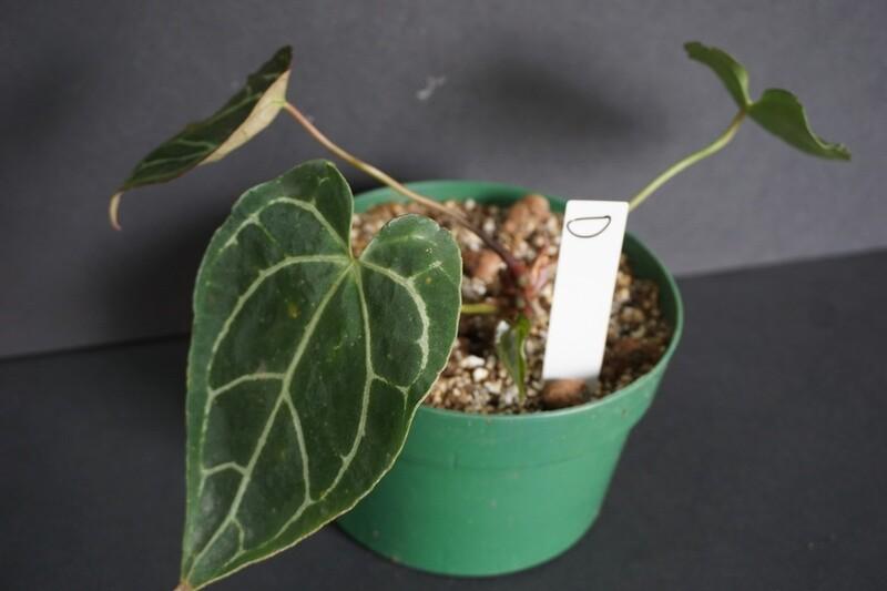 Anthurium Crystallinum [plant D]