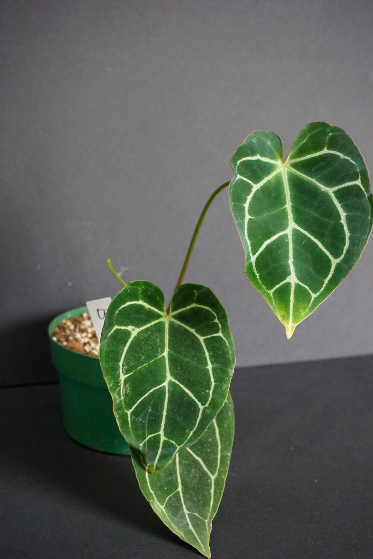 Anthurium Crystallinum [plant B]