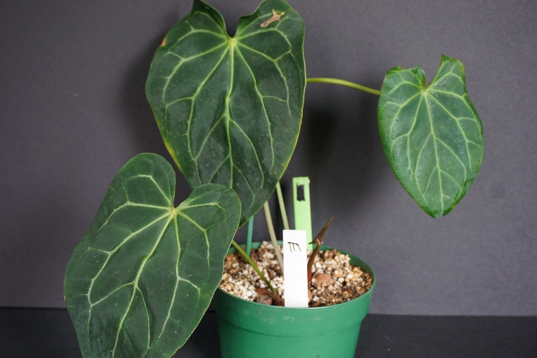 Anthurium Crystallinum [plant E]
