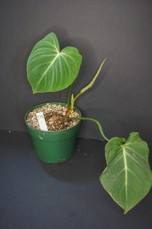 Philodendron Glorisum [plant E]
