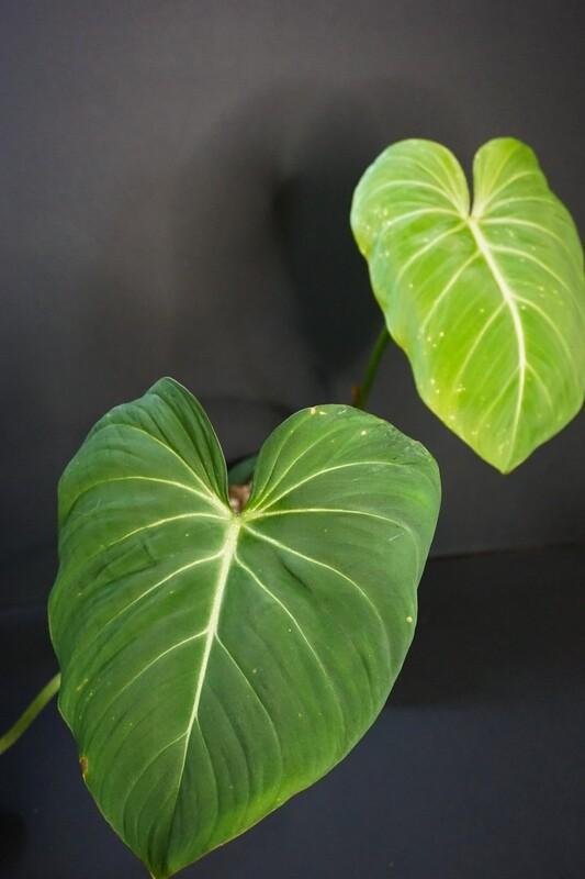 Philodendron Glorisum [plant D]