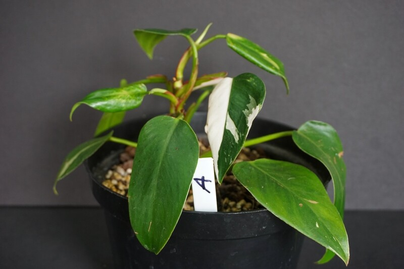 White Princess Philodendron [plant A]