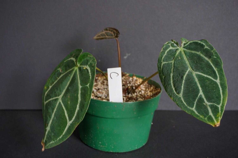 Anthurium Crystallinum [plant C]