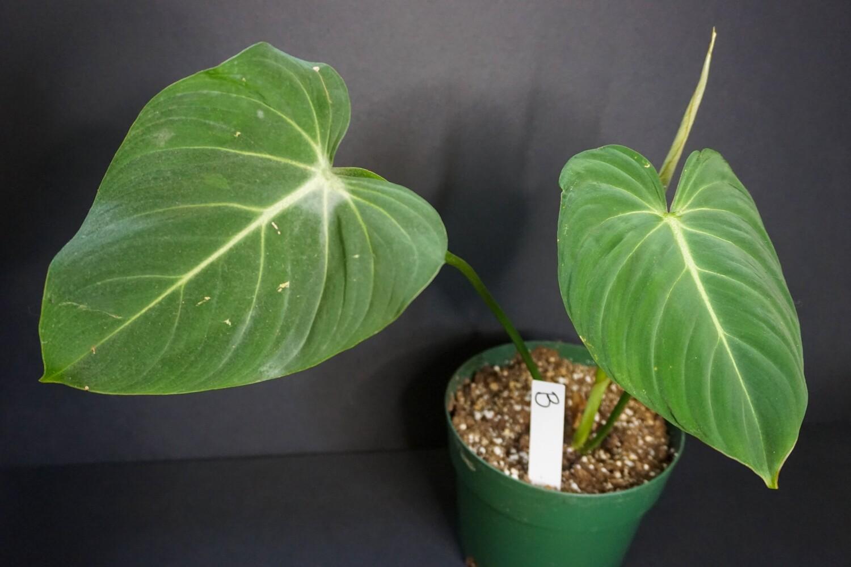 Philodendron Glorisum [plant B]