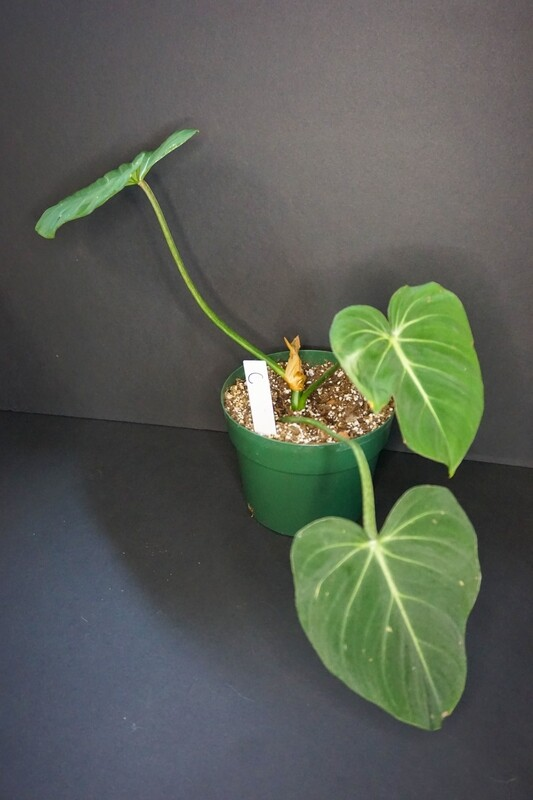 Philodendron Glorisum [plant C]