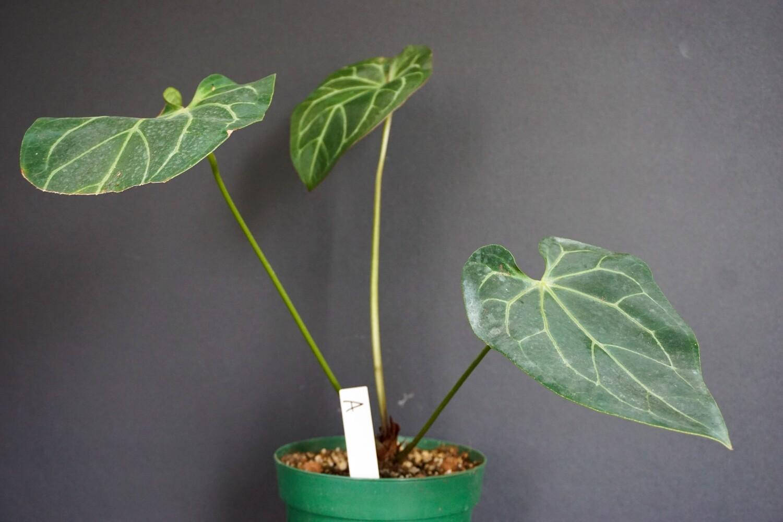Anthurium Crystallinum [plant A]