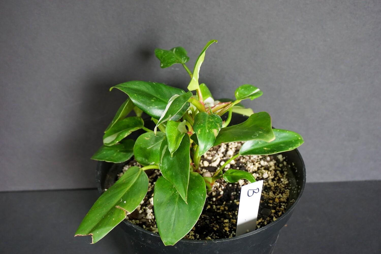 White Princess Philodendron [plant B]