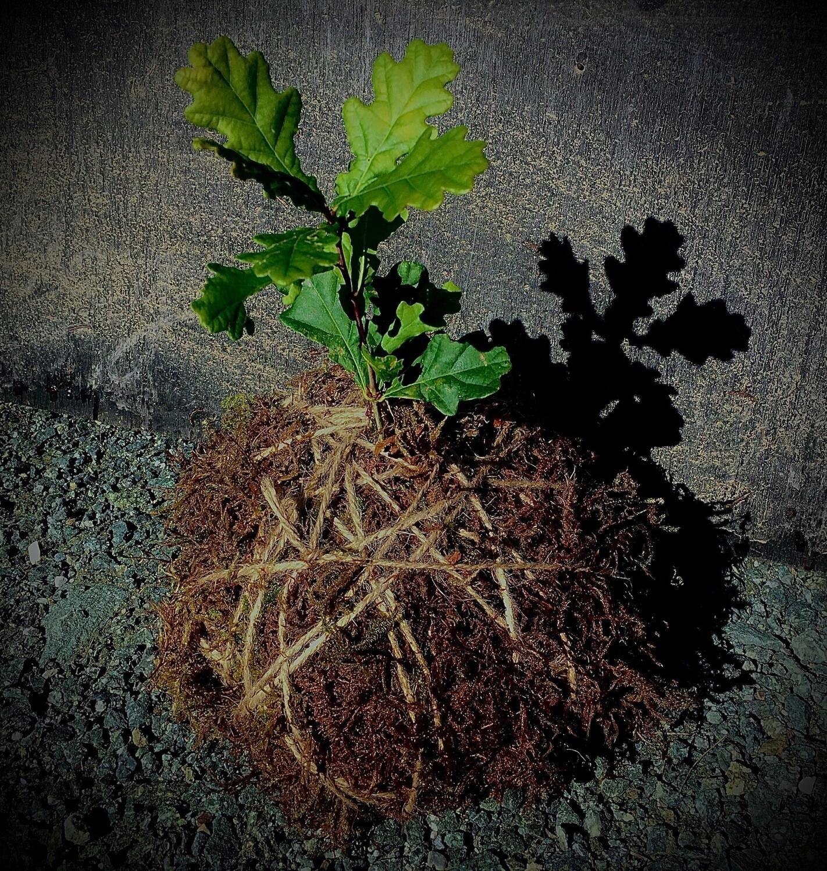 Oak-in-a-ball