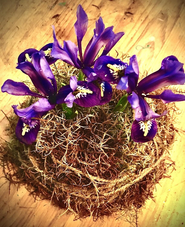 Brilliant Purple Iris In A Ball