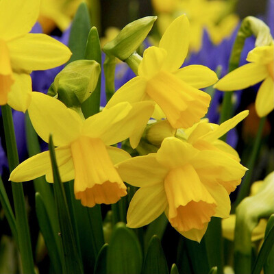 Welsh Daffodil Bunch retail £1.10
