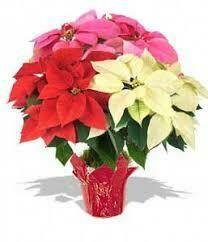 Poinsettias - Choose Multiple colors